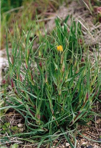 Salsifis des prés-Tragopogon pratensis