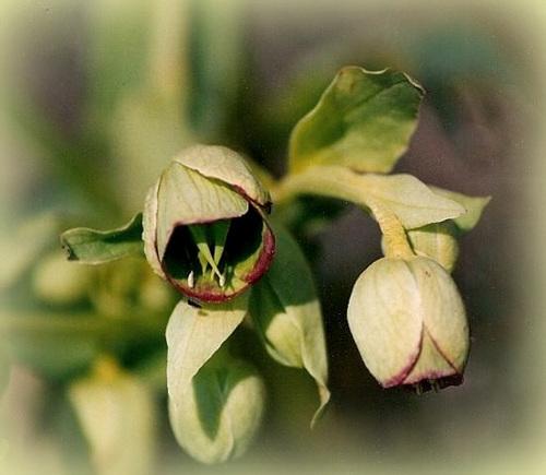 fleurs d'hellébore