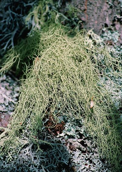 mousses et lichens [verrouillé] 9958596.6bbf91ce.560