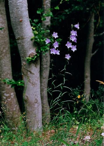 Campanule persicifolia