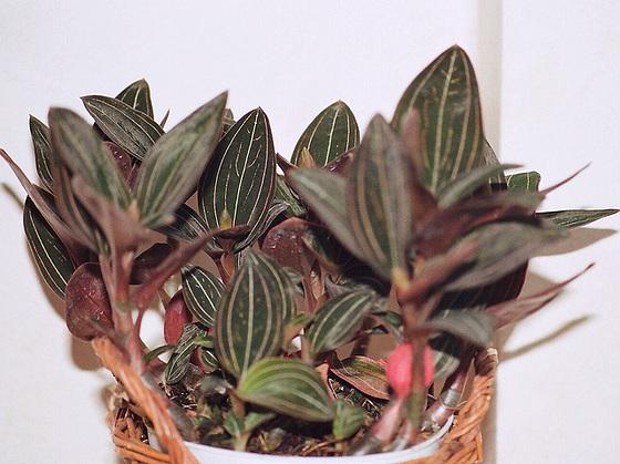 Ludisia discolor - orchidée terrestre, orchidée-bijou 9658866.50611864.560