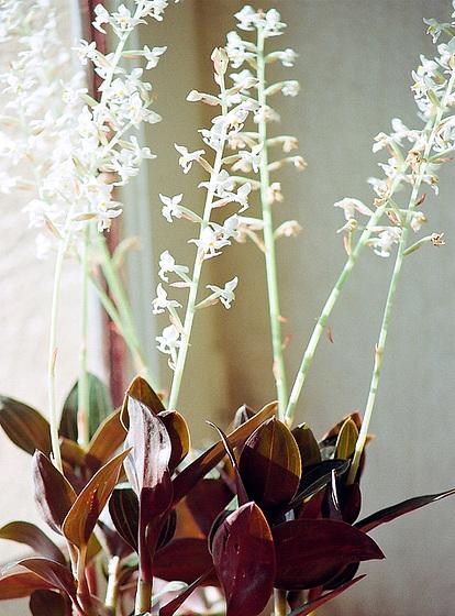 Ludisia discolor - orchidée terrestre, orchidée-bijou 9658868.0faa3284.560