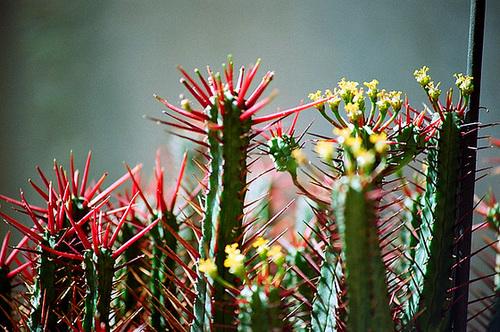 Euphorbia enopla fleurs
