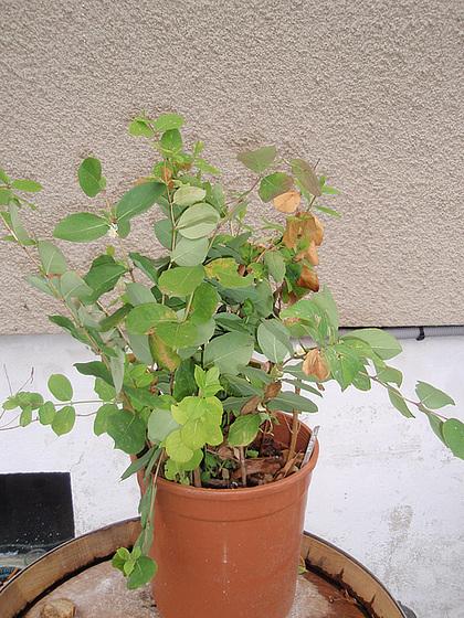Lonicera fragantissima - chèvrefeuille 9979878.a81f495e.560