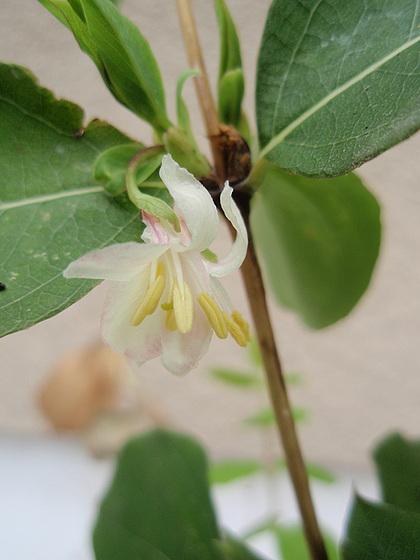 Lonicera fragantissima - chèvrefeuille 9979880.6487dc00.560