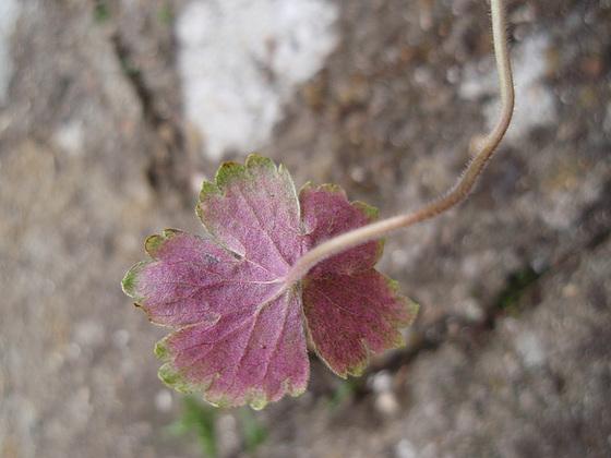 Geranium : espèces et variétés 10310026.6f6f2e19.560