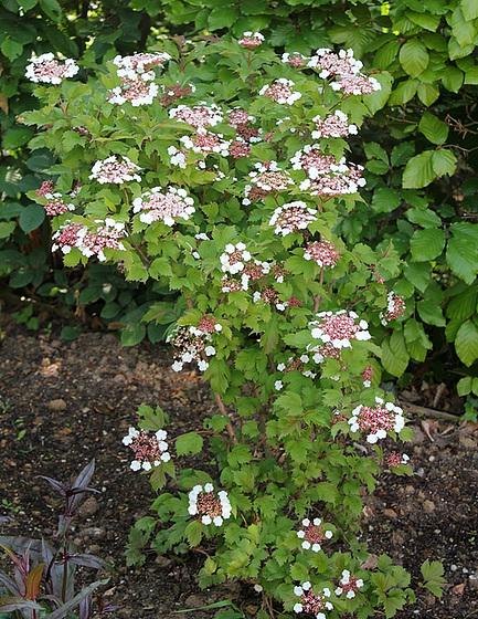 Viburnum opulus - viorne obier 10540226.29a42742.560