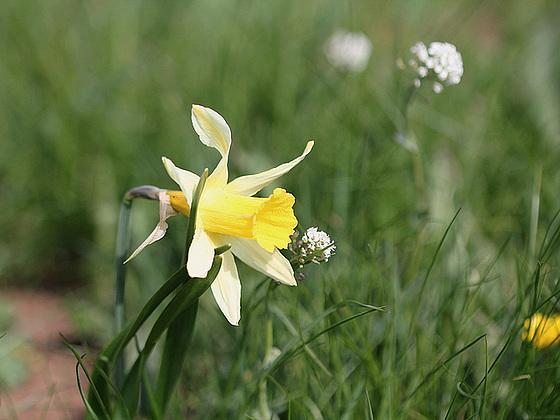 Narcissus pseudonarcissus - jonquille sauvage 10430490.11d0de87.560