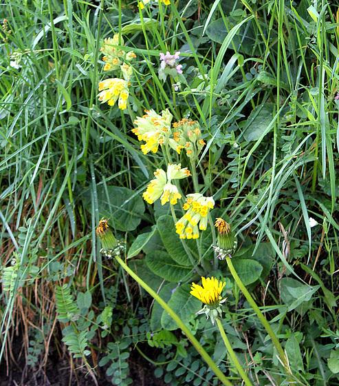Primula veris, Primula elatior et hybrides - primevères 10590504.2da3d643.560