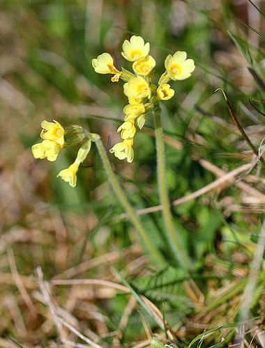 Primula hybride ( veris x elatior )