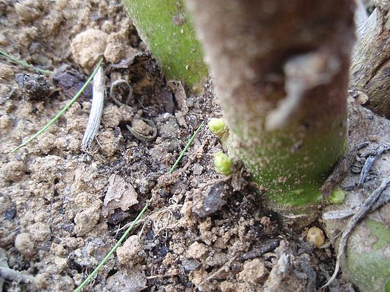Hibiscus moscheutos 10350618.fa98cf4e.560