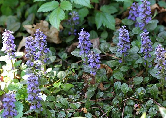 Quelques plantes d'ombre ou mi-ombre 10480809.a2464b94.560