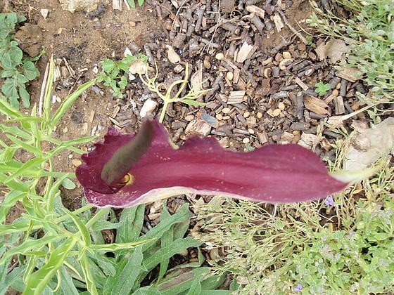 Dracunculus vulgaris 10651165.fc140bff.560