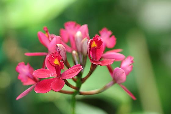 Epidendrum ibaguense 10531647.fe4aa712.560