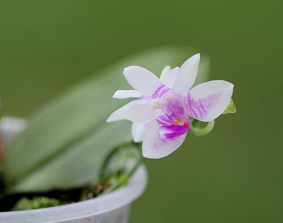 Phalaenopsis modesta 10531704.11032a03.560