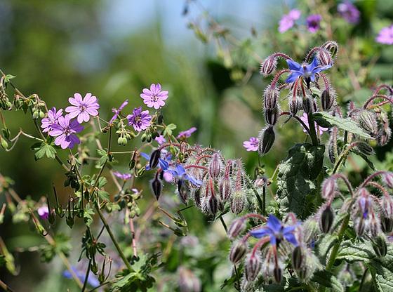 bourrache et compagnie dans un jardin remblayé 10591833.f8d01b73.560
