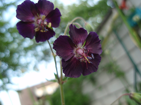Geranium phaeum et cultivars 10451868.507a0396.560