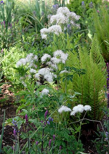 Pigamon - Thalictrum aquilegifolium- ' White Cloud'