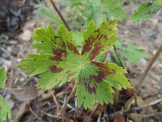 Geranium phaeum et cultivars 10472390.eb38e639.560