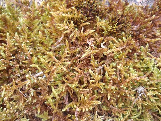 mousses et lichens [verrouillé] 10152594.6f70ac57.560