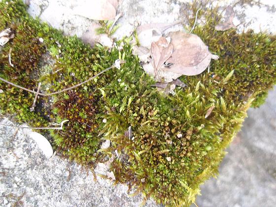 mousses et lichens [verrouillé] 10152601.cd39e9ae.560