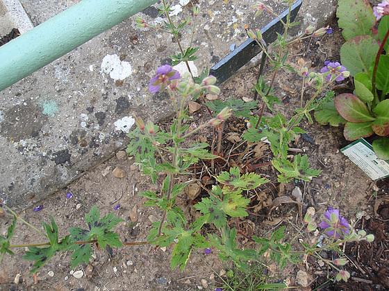 Geranium phaeum et cultivars 10472639.fc957e42.560