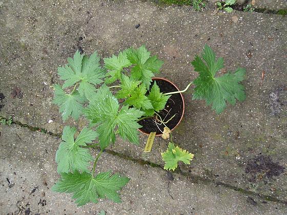 Geranium : espèces et variétés 10312952.0f4969ff.560