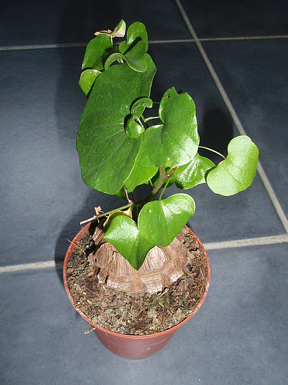 Dioscorea elephantipes (= Testudinaria elephantipes) 10263000.468e90db.560