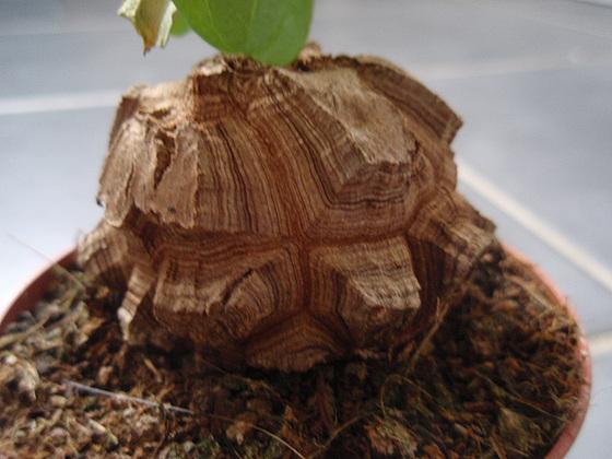 Dioscorea elephantipes (= Testudinaria elephantipes) 10263001.063d65be.560