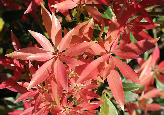 Pieris japonica 'Flaming Silver' 10363222.cf364767.560