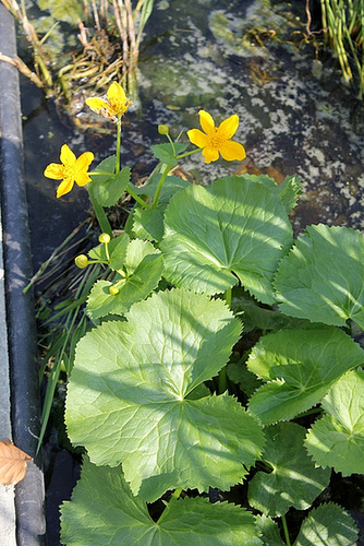 Caltha polypetala - ( horticole )-Le jardin à la rue