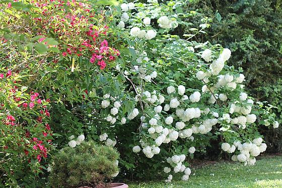 Viburnum opulus - viorne obier 10533565.150defe1.560