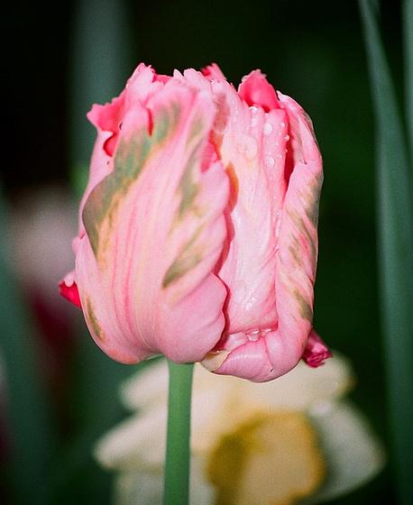 Tulipa - grands hybrides - tulipes chics et kitch (sections 1 à 11) 10413584.c8242658.560