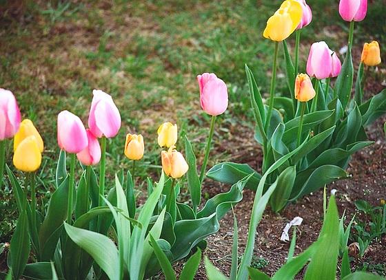 Tulipa - grands hybrides - tulipes chics et kitch (sections 1 à 11) 10413612.3c704b74.560