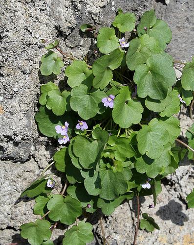 flore des vieux murs, rochers  et rocailles naturelles 10673745.e002f302.500