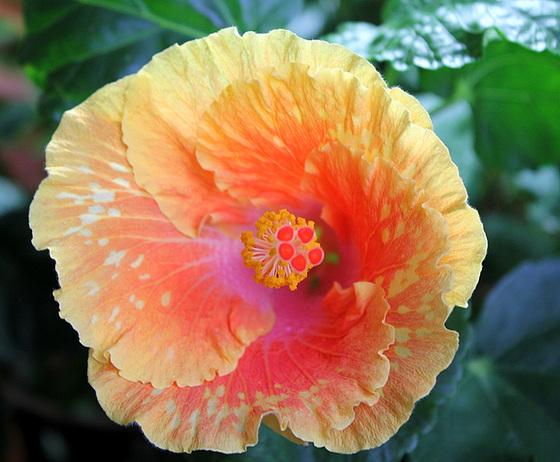 Hibiscus non rustiques: conseils de culture et floraisons 10673761.7d300643.560