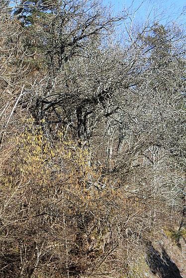 Salix sp. - saule [devinette] 10183899.df041fa7.560