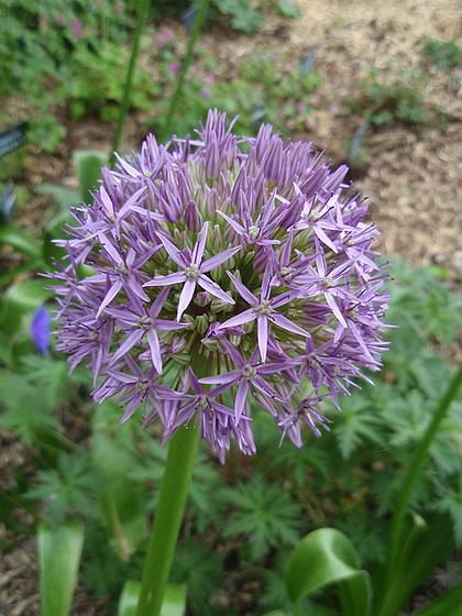Allium - quelques espèces & variérés 10554111.b2c43d55.560
