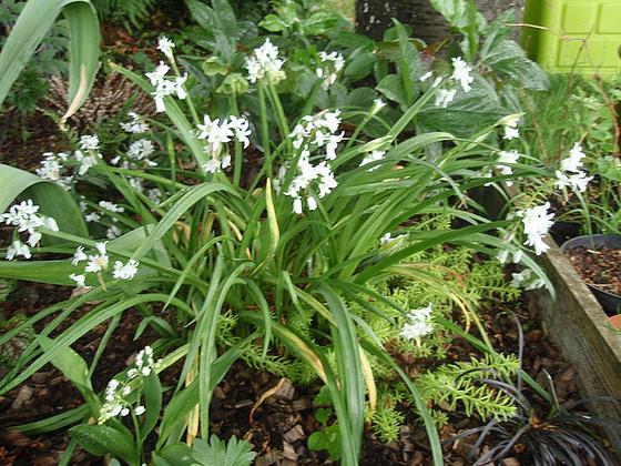 Allium - quelques espèces & variérés 10554114.adb689f3.560