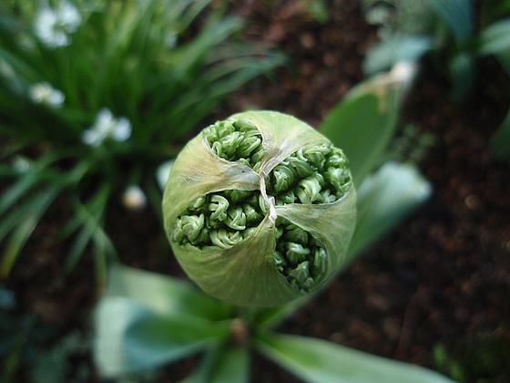 Allium - quelques espèces & variérés 10434437.13ded874.560