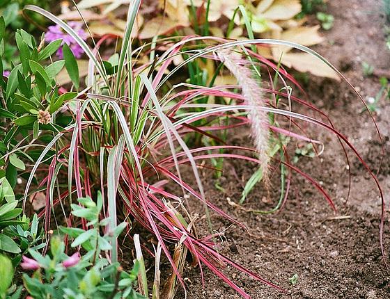 Poaceae (graminées) - Cyperaceae (bambous) 10074620.1c7be897.560