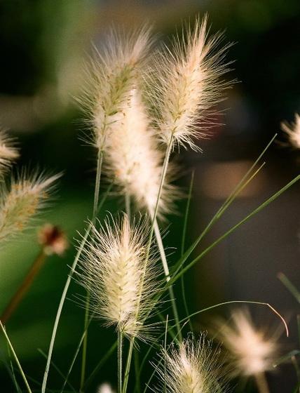 Poaceae (graminées) - Cyperaceae (bambous) 10074663.0a22d339.560