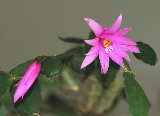 Hatiora rosea (= Rhipsalidopsis) - cactus de Pâques  10085153.f499823b.560