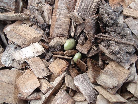 Allium - quelques espèces & variérés 10255947.69b67d2b.560