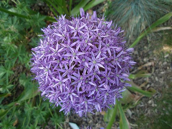 Allium - quelques espèces & variérés 10556089.6d9dd514.560