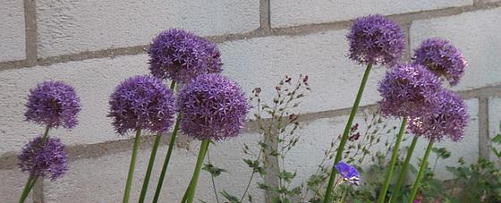 Allium - quelques espèces & variérés 10556091.c094a04c.560
