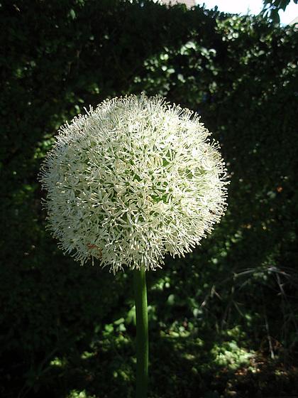 Allium - quelques espèces & variérés 10556095.b65a9423.560