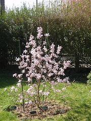 magnolia loebneri 'léonard messel' P3250846