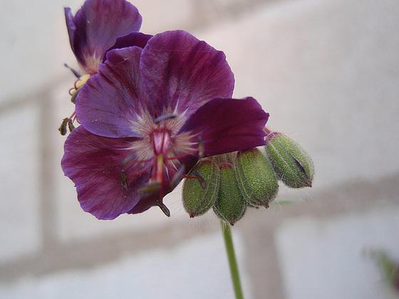 Geranium phaeum et cultivars 10556225.f5873b5a.560