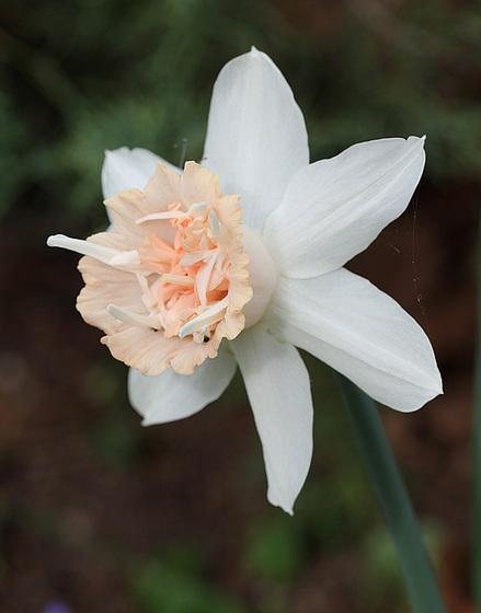 Narcissus - les narcisses 10336241.14b748c4.560